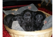 Black Labrador pedigree puppies KC registered - Leven