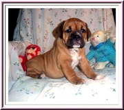 A Very nice Female Old English Bulldog puppy for you